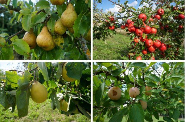 Birnen, Äpfel, Mirabellen und Quitten sind fast erntereif.