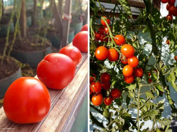Eine Fülle an sonnig reifen Tomaten