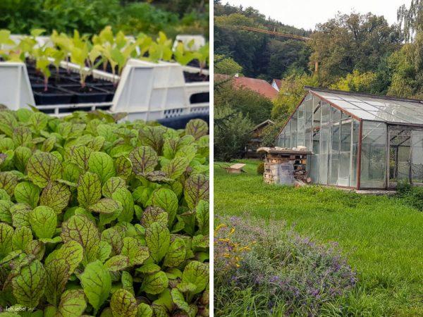 In den Gewächshäusern der Klostergärtnerei werden im Frühjahr Pflanzen vorgezogen; im Herbst und im Winter steht hier Salat