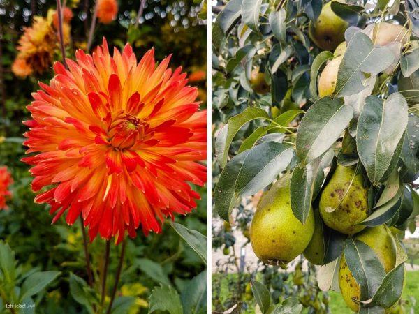Auch wenn bereits Herbststimmung über dem Klostergarten liegt: Noch immer blühen leuchtende Blumen in den Beeten und hängen saftige Früchte in den Bäumen.