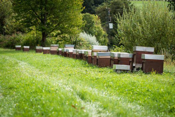 Viele Bienenstöcke nebeneinander auf einer Wiese